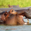 Hippopotamus yawns - Stock Photo