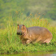 Hippopotamus on the coast of a river in Uganda - Stock Photo