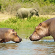 Hippopotamus in the river and elephant is on the coast - Stock Photo