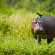 Hippopotamus walks with a bird - Stock Photo
