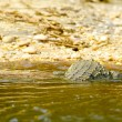 Crocodile swims in the water — Stock Photo