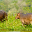 Hippopotamus walks away from the river - Stock Photo