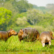 Three hippopotamus from Africa on the coast of the river - Stock Photo