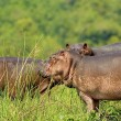 Three hippopotamus from Uganda - Stock Photo