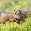 Hippopotamus in Uganda - Stock Photo