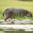 Many hippopotamus in the river - Stock Photo