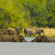 Elephants swim in the water - Stock Photo