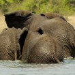 Elephant family from Uganda in the water — Foto Stock