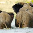 Elephants in the water - Stock Photo