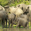 Flock of the elephants - Stock Photo