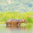 Hippopotamus in the middle of the river — Stock Photo