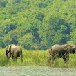 Elephants on the coast of the river - Stock Photo