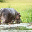 Hippopotamus in Africa fron the back - Stock Photo
