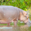 African hippo from Uganda - Stock Photo