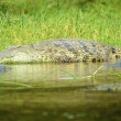 Crocodile on the bank of the river - Stock Photo