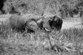 Elefant afrika in schwarz und weiß — Stockfoto