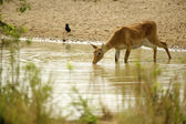 Young deer drinks the water from the river — Stock Photo