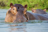 Sexy female hippopotamus — Stock Photo