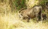 Hog in the grass — Stock Photo