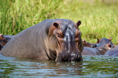 Hippopotmus in afrika in het water — Foto de Stock