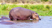 Hippopotamus drinks out of the water — Stock Photo