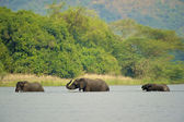 Three elephants walk in the water of Africa — Stock Photo