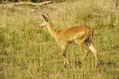 Young deer runs — Stock Photo