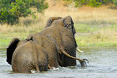 Elephant family from Uganda in the water — Stock Photo