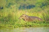 Hipopotam na wybrzeżu rzeki w ugandzie — Zdjęcie stockowe