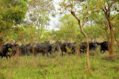 Flock of buffalos in Africa — Stock Photo