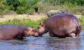 Hippopotamus kiss each other — Stock Photo