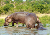 Hippopotamus on the coast of the river — Stock Photo