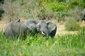 Elephant hides in the grass — Stok fotoğraf