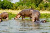 Hippopotamus drinks the water — Stock Photo