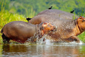 Hippopotamus enter into the water and the birds on theit backs — Stock Photo