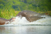 Hippopotamus enter into the water — Stock Photo