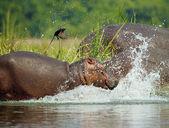 Flodhäst träder i vattnet och en fågel flyger bort i ryggen — Stockfoto