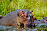 Hippopotmus in Africa in the water — Stock Photo