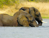 Couple of elephants in the water — Stockfoto