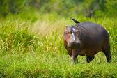 Hippopotamus walks with a bird — Stock Photo