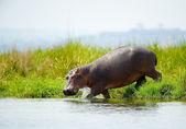 Hippopotamus from Uganda enters into the water — Stock Photo