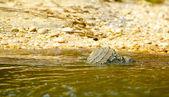 Krokodýl plave ve vodě — Stock fotografie