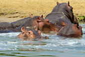 Group of hippopotamus in the river of Uganda — Stock Photo