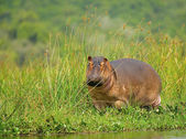 African hippopotamus — Stock Photo