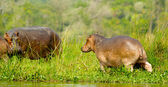 Hippopotamus walks away from the river — Stock Photo