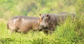 Hippopotamus in Uganda — Stock Photo