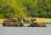 Elefanter simma i vattnet — Stockfoto