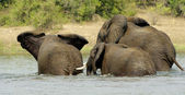 Elephants from Uganda play in the water — Stock Photo