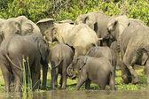 Stádo slonů — Stock fotografie