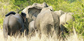 Elephants from Africa — Stock Photo